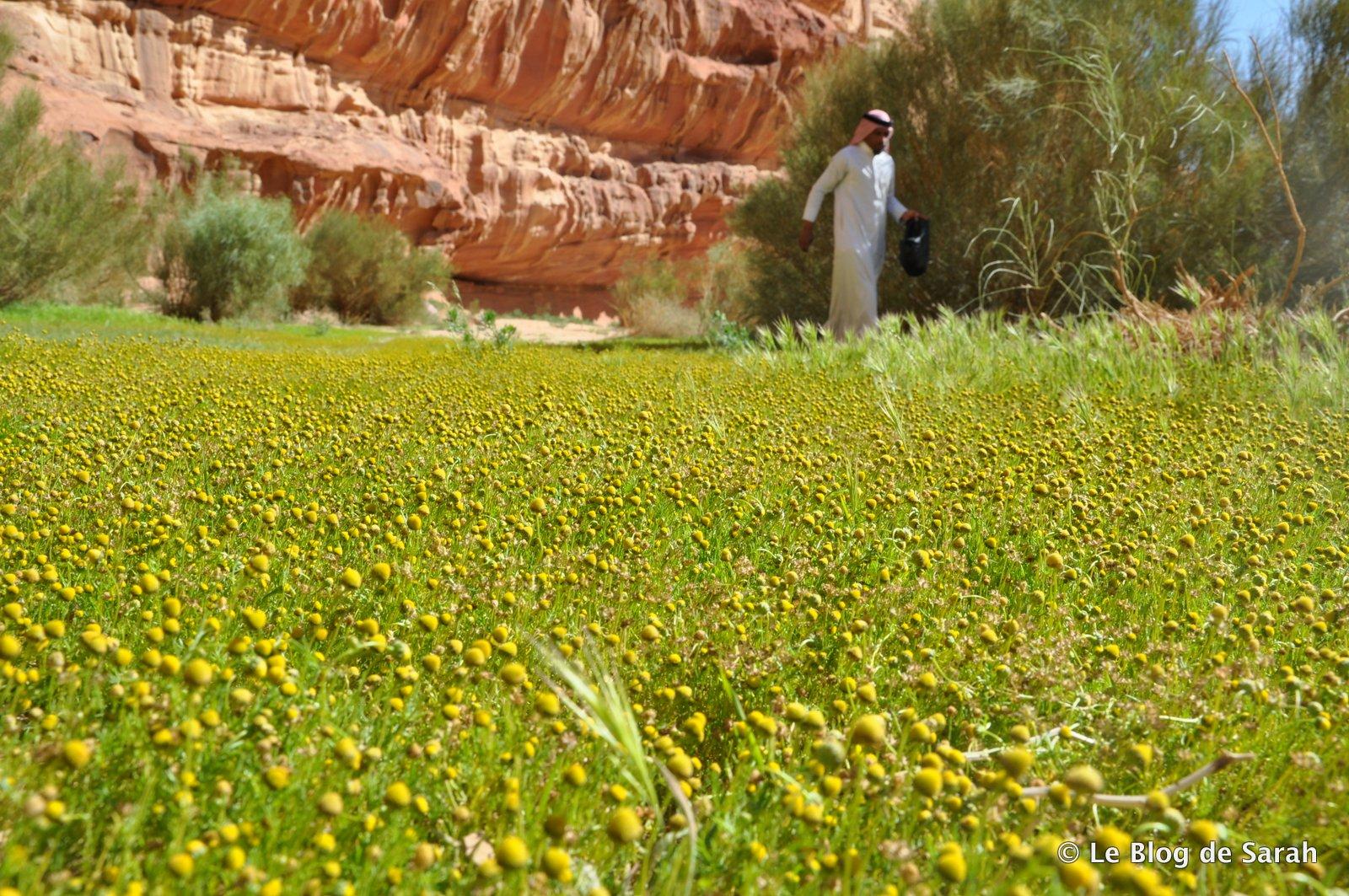 Nuestra guía beduina recoge flores de manzanilla en un oasis verde en medio del desierto