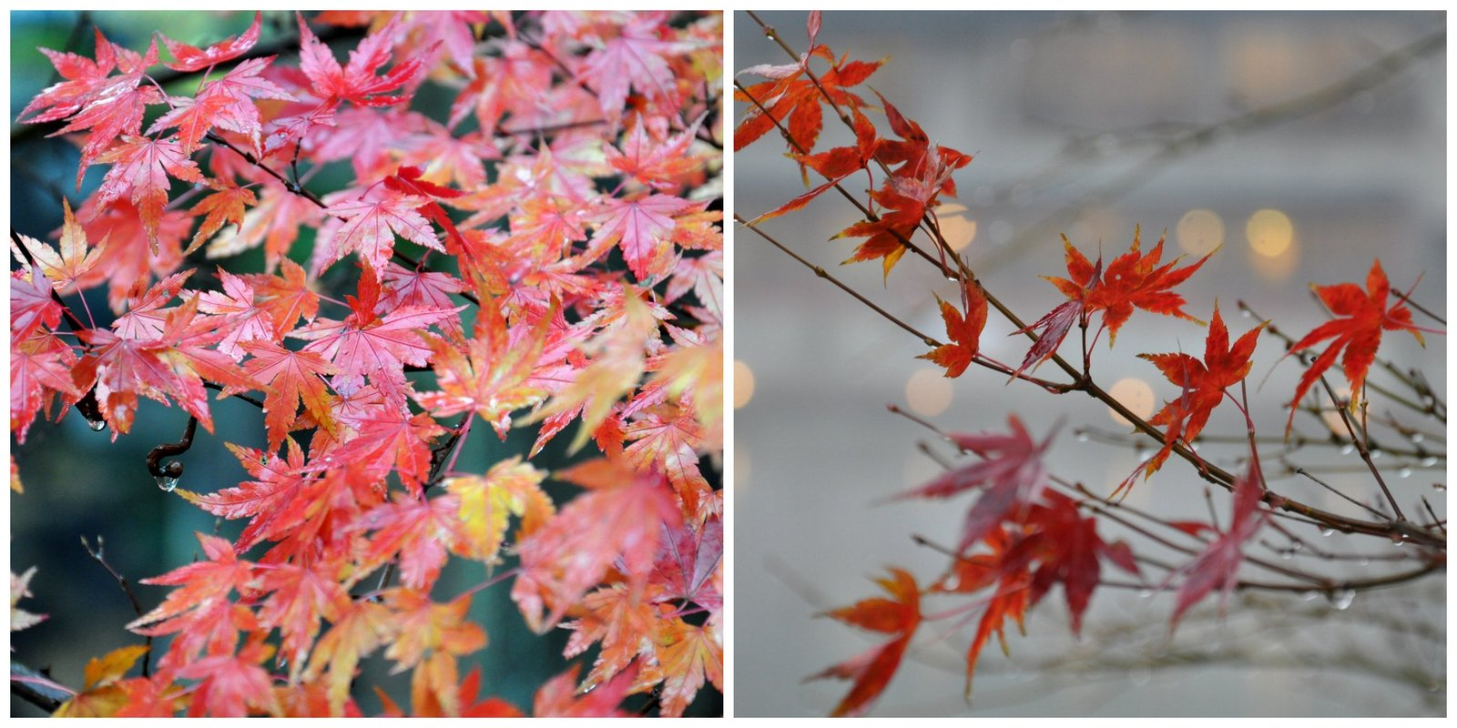 Color de otoño para arces japoneses en las orillas del lago en Yufuin