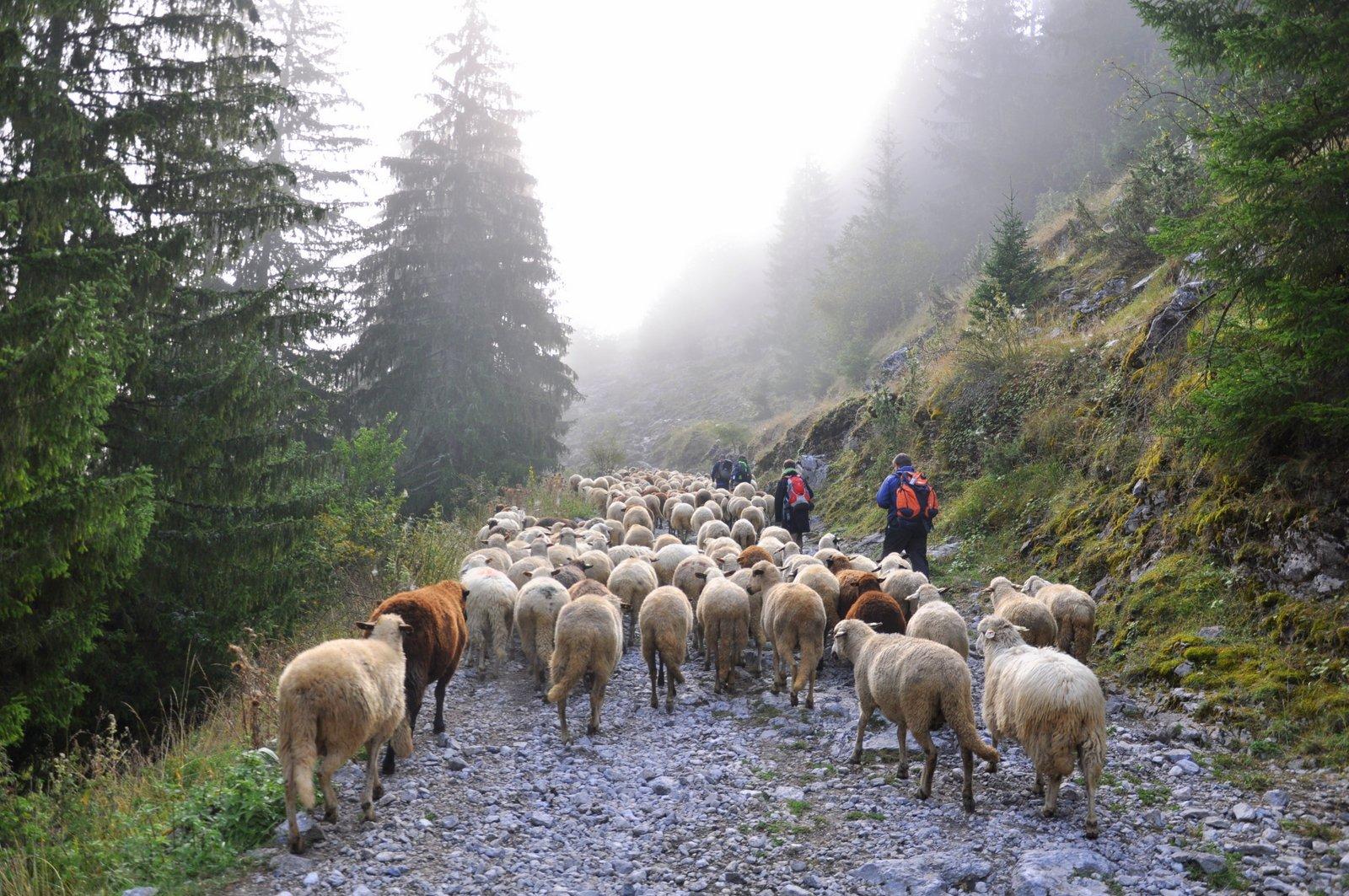 senderismo-senderismo-Bulgaria-ovejas