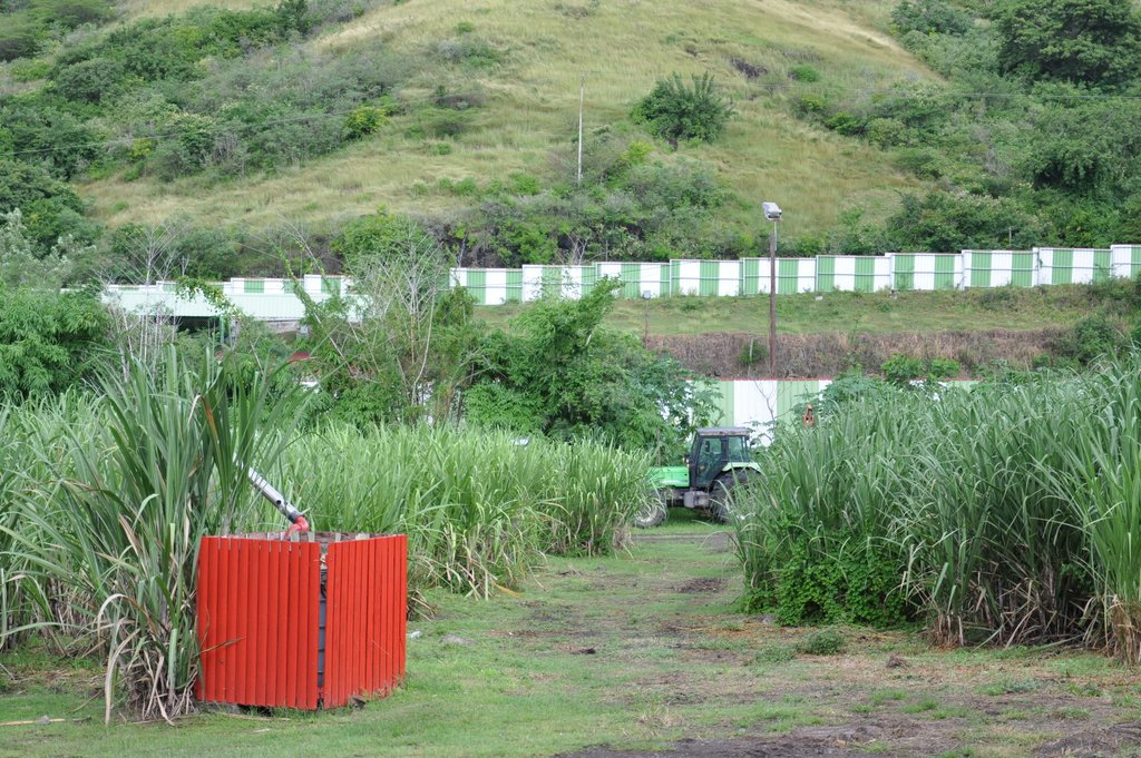Plantación de caña de azúcar en la destilería Neisson