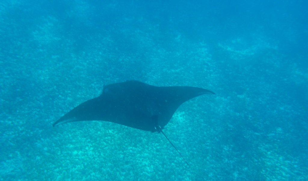 Snorkeling con una manta ray en Indonesia. Crédito de la foto: Lucie Aidart, Voyages et Vagabondages