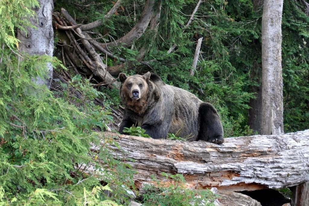 vancouver bear grouse mountain