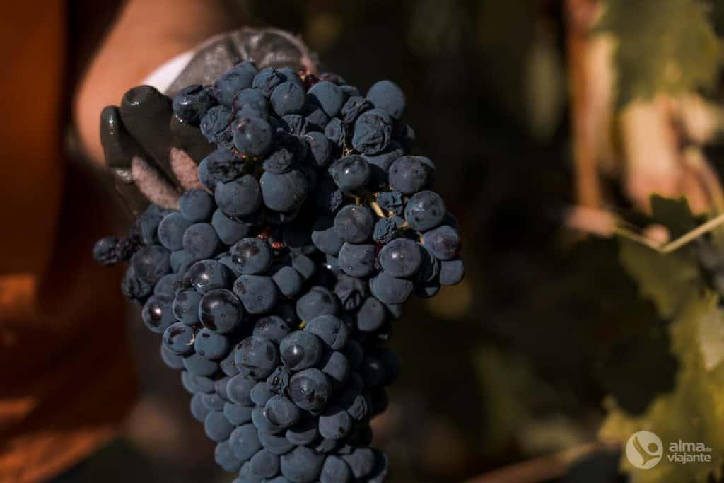 Uvas para vino de Oporto