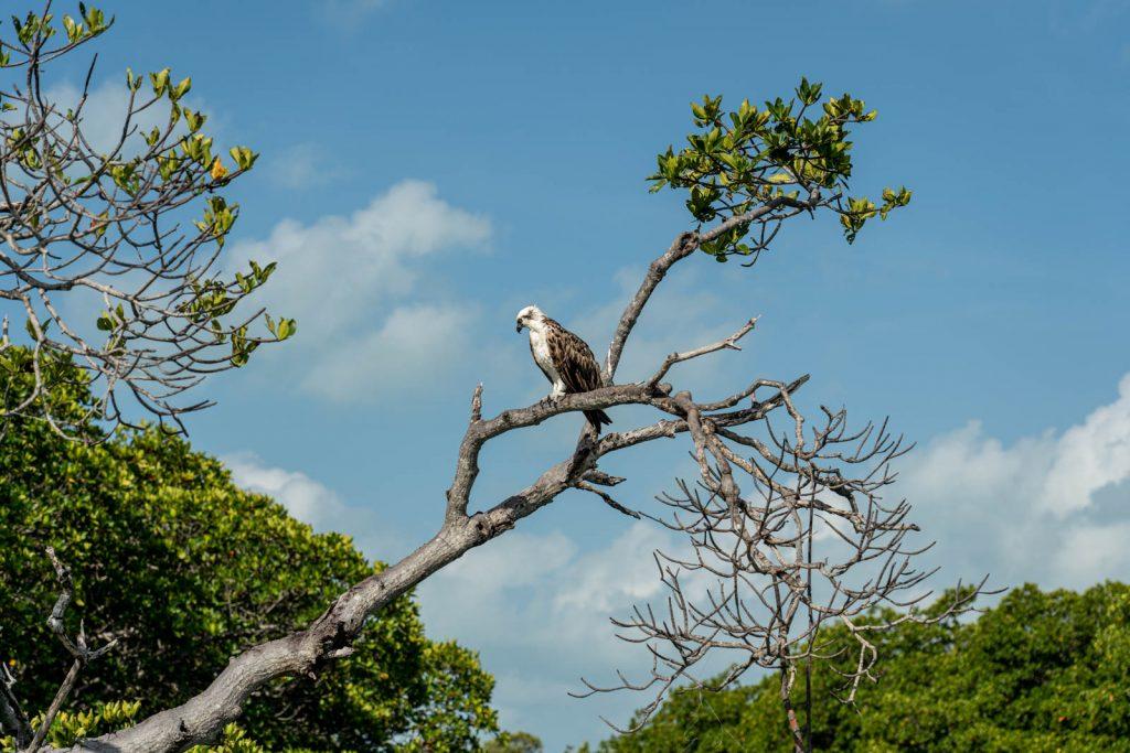 Águila pescadora en los manglares de Sian Ka'an