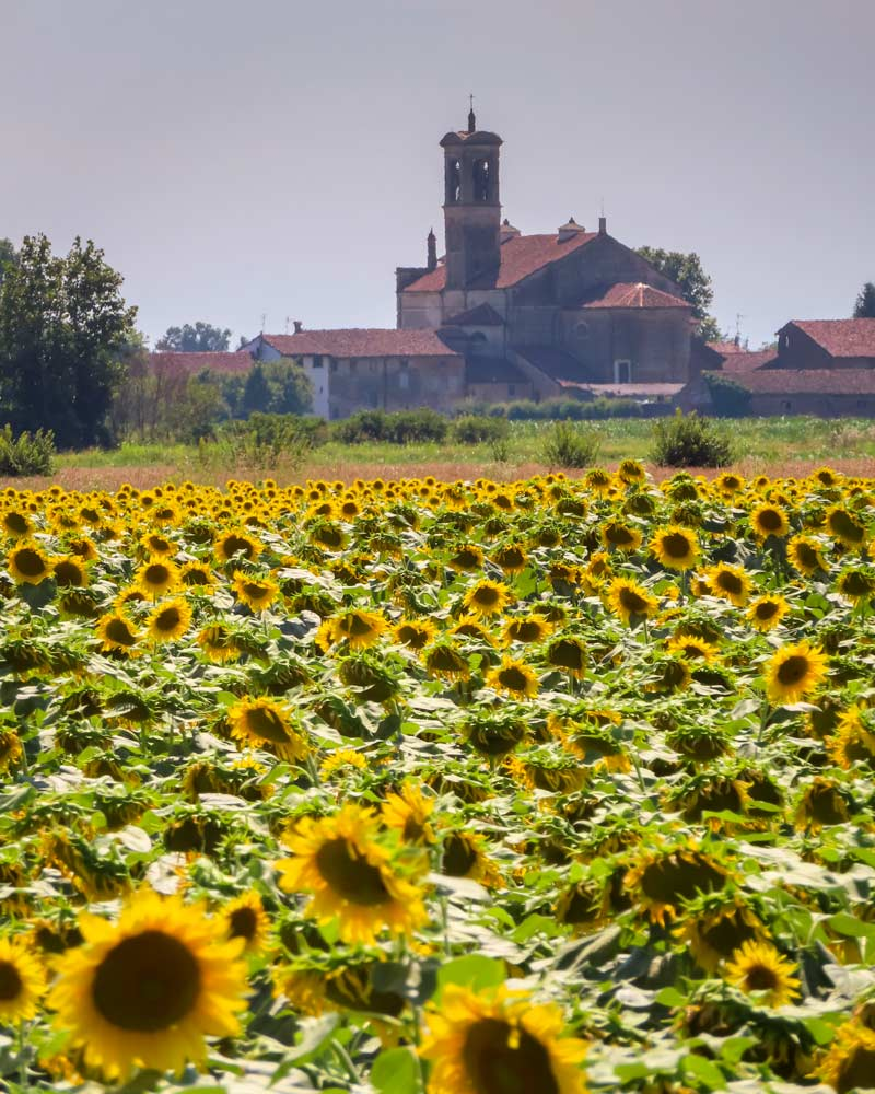 Girasoles vistos en el camino a Cremona